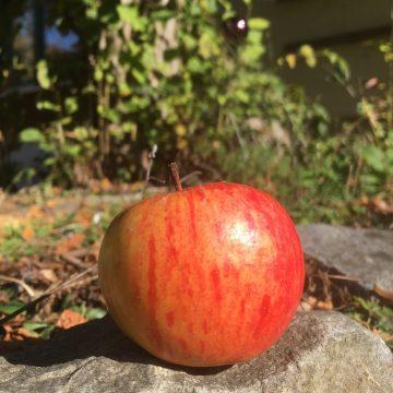 Apfelringe – fein und gesund!