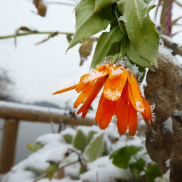 Winterringelblume.