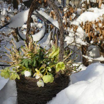 Schneepause mit Christrose