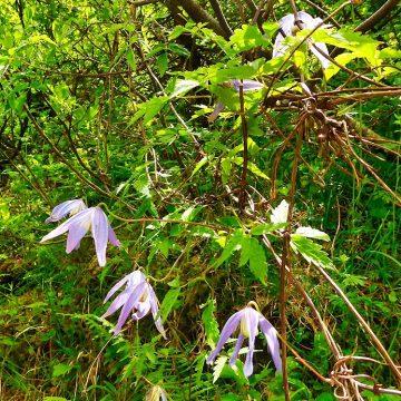 Lila Sternchen aus dem Bergwald