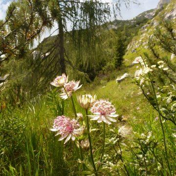 Bergpflanze des Monats, Juli '21