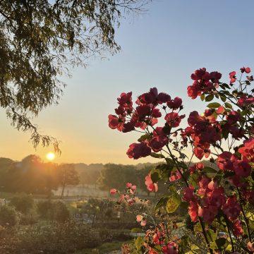 Morgensonnennebelrosen
